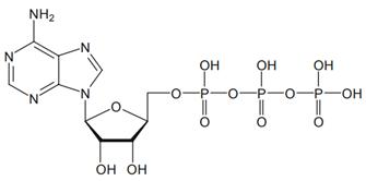 Budowa chemiczna ATP [za: Agteresch i wsp. 1999]